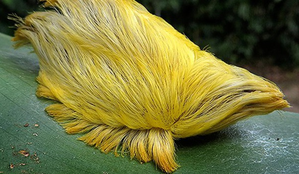The rare flannel moth that looks like Donald Trump's hair.